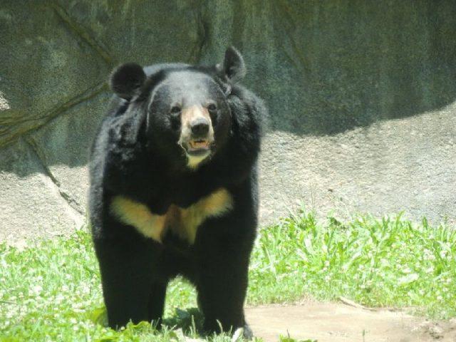 Gambar Asiatic Black Bear Nama Nama Hewan Dari A Sampai Z Yang Dimulai Dari Huruf A