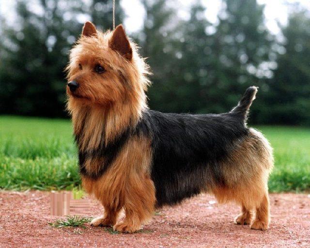 Gambar Australian Terrier Nama Nama Hewan Dari A Sampai Z Yang Dimulai Dari Huruf A