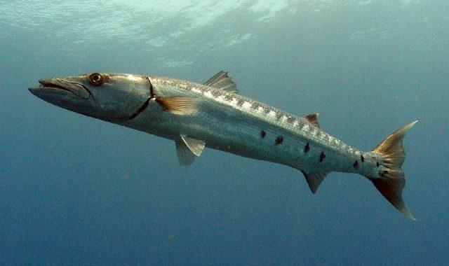 Nama Nama Hewan Dari A Sampai Z Yang Dimulai Dari Huruf B-Barracuda