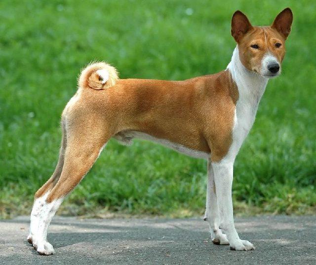 Nama Nama Hewan Dari A Sampai Z Yang Dimulai Dari Huruf B-Basenji Dog