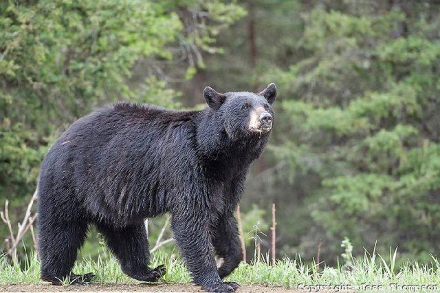 Gambar Nama Nama Hewan Dari A Sampai Z Yang Dimulai Dari Huruf B-Black Bear