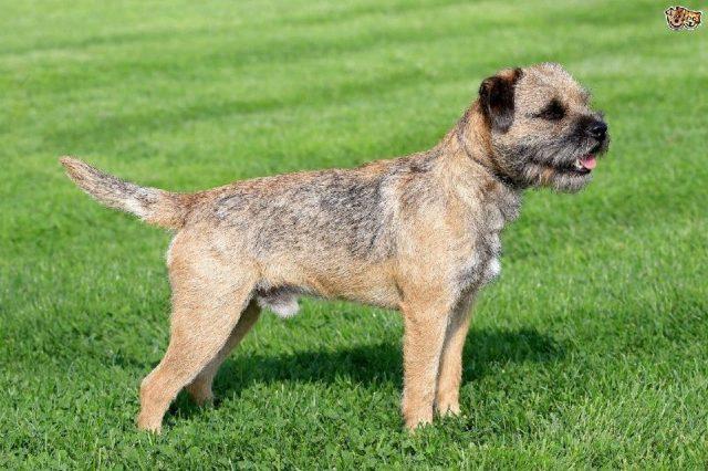 Gambar Nama Nama Hewan Dari A Sampai Z Yang Dimulai Dari Huruf B-Border Terrier