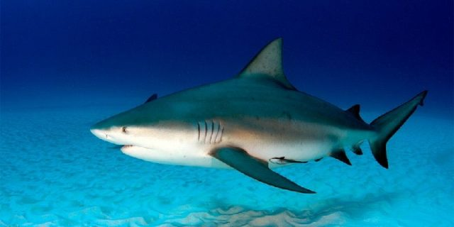 Gambar Nama Nama Hewan Dari A Sampai Z Yang Dimulai Dari Huruf B-Bull Shark