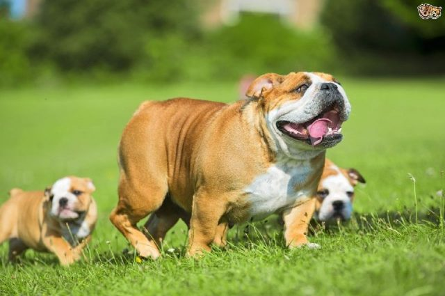 Gambar Nama Nama Hewan Dari A Sampai Z Yang Dimulai Dari Huruf B-Bulldog