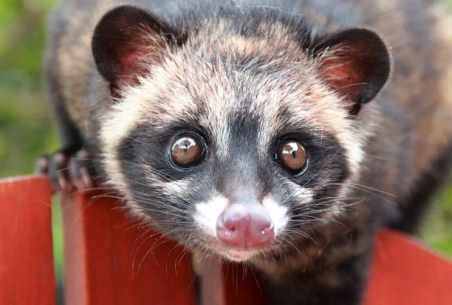 Gambar Jenis Musang Peliharaan-Musang Luwak ( common palm civet, common musang, house musang atau toddy cat )