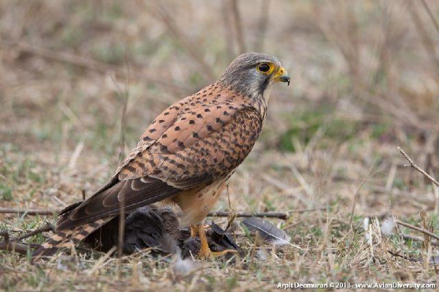 Jenis Alap Alap Di Dunia-Alap-alap erasia (Falco tinnunculus)