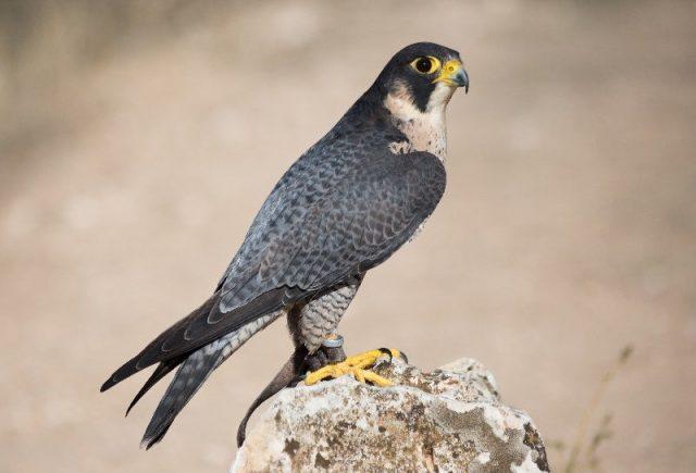 Jenis Alap Alap Di Dunia-Alap-alap kawah ( Falco peregrinus )