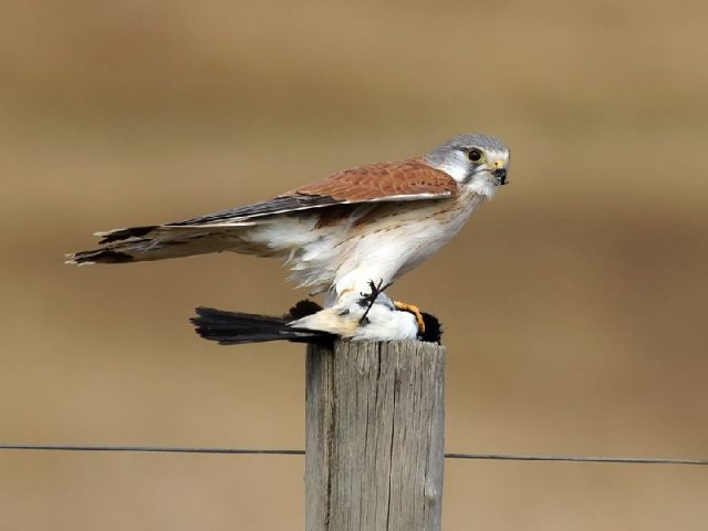 Gambar Jenis Alap Alap Di Dunia- Alap-alap layang ( Falco cenchroides )