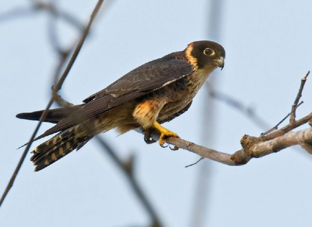 Gambar Jenis Alap Alap Di Dunia-Alap-alap macan ( Falco severus )