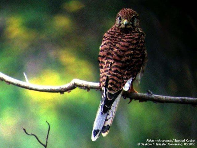Jenis Alap Alap Di Dunia-Alap-alap sapi ( Falco moluccensis )