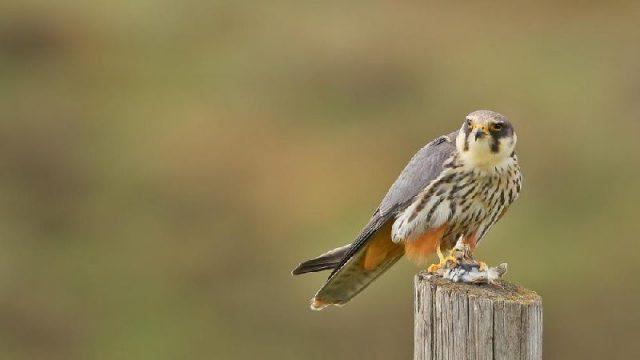 Gambar Jenis Alap Alap Di Dunia-Alap-alap walet ( Falco subbuteo )