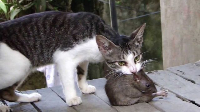 Gambar Hewan Pemakan Tikus Got - cats prey on mice
