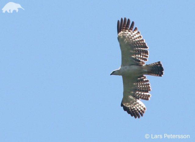 Gambar Ciri Ciri Elang Flores ( Flores Hawk-eagle ) Ketika Terbang