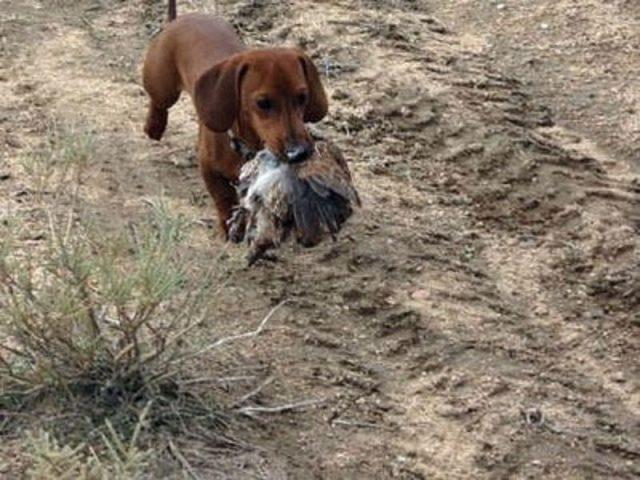 Gambar Dachshund Mouse hunt-Jenis Anjing Pemburu Tikus
