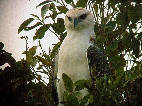 Gambar Elang Flores ( Flores Hawk-eagle )