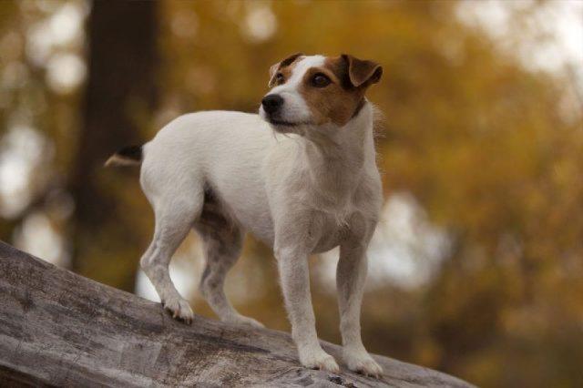 Gambar Jack Russell Terrier Mouse Hunt-Jenis Anjing Pemburu Tikus