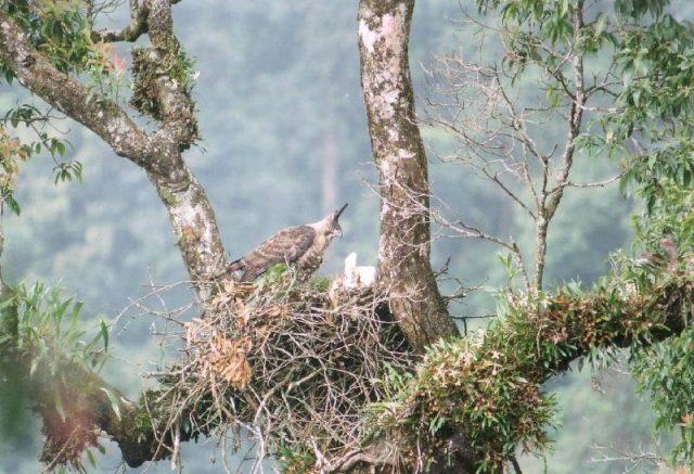 Gambar Masa Perkawinan Elang Flores ( Flores Hawk-eagle )