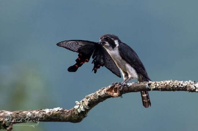 Gambar Pied falconet (Microhierax melanoleucos)-Jenis Alap Alap Di Dunia