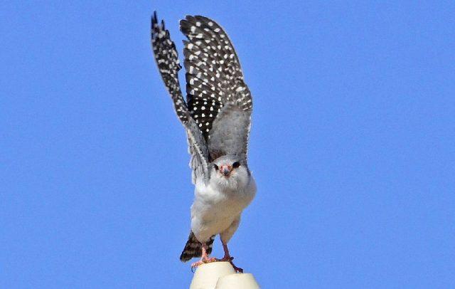 Gambar Pygmy falcon ( Polihierax semitorquatus )-Jenis Alap Alap Di Dunia