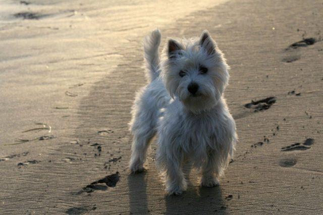Gambar West Highland White Terrier Mouse Hunt-Jenis Anjing Pemburu Tikus