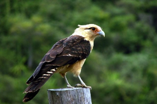 Gambar Jenis Alap Alap Di Dunia-Yellow-headed caracara ( Milvago chimachima )