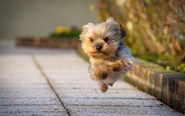 Gambar Yorkshire Terrier Mouse Hunt-Jenis Anjing Pemburu Tikus