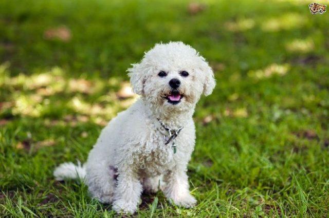 Gambar Jenis Anjing Kecil-Bichon Frise