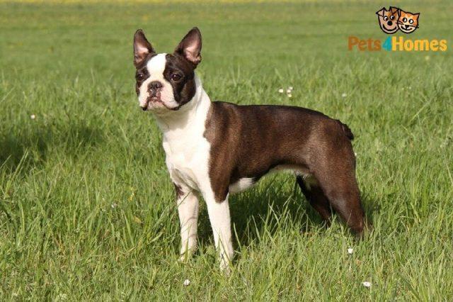 Gambar Jenis Anjing Kecil-Boston Terrier