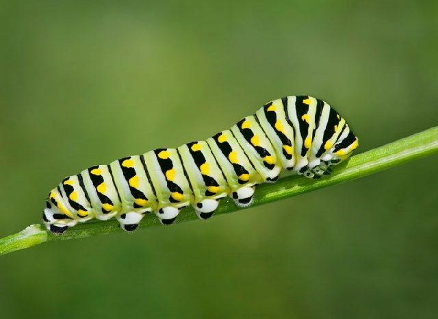 Gambar Nama Hewan Dari Huruf C - Caterpillar