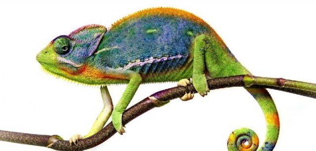 Gambar Nama Hewan Dari Huruf C - Chameleon