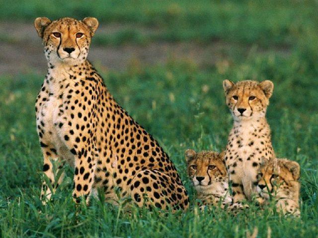 Gambar Nama Hewan Dari Huruf C - Cheetah