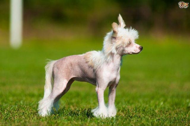 Gambar Nama Hewan Dari Huruf C - Chinese Crested Dog