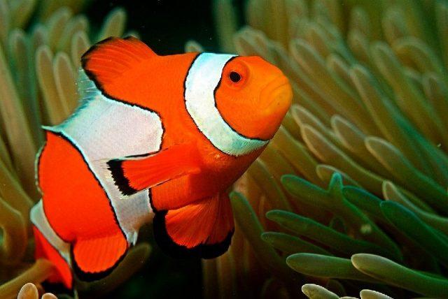Gambar Nama Hewan Dari Huruf C - Clown Fish