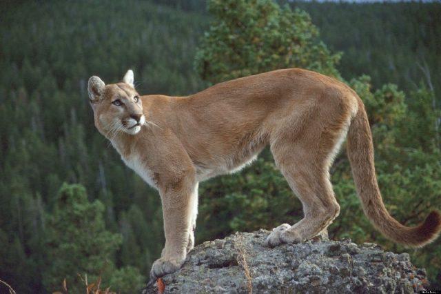 Gambar Nama Hewan Dari Huruf C - Cougar