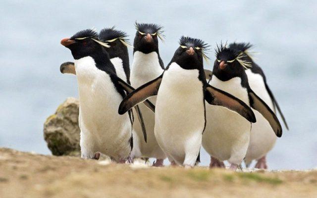 Gambar Nama Hewan Dari Huruf C - Crested Penguin