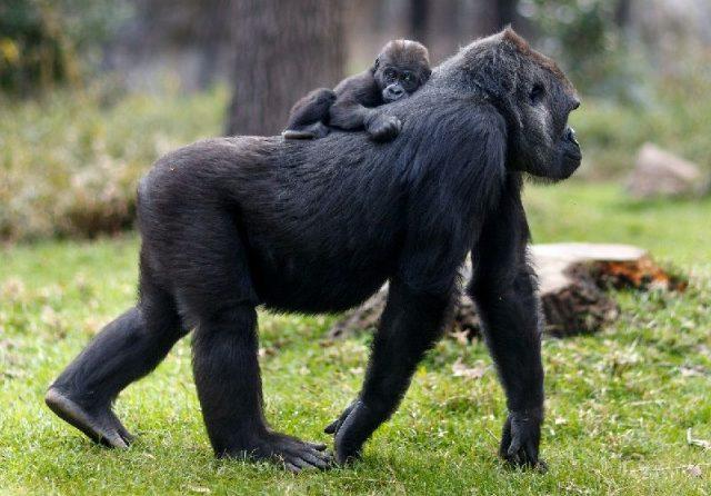 Gambar Nama Hewan Dari Huruf C - Cross River Gorilla