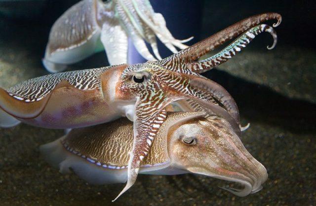 Gambar Nama Hewan Dari Huruf C - Cuttlefish