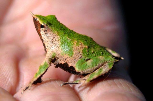 Nama Hewan Dari Huruf D-Darwin's Frog ( Katak )