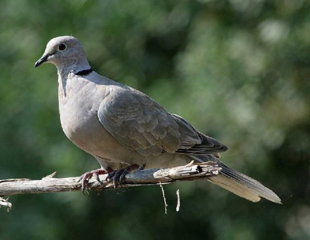 Nama Hewan Dari Huruf D-Deruk ( Burung )