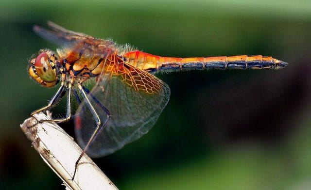 Nama Hewan Dari Huruf D-Dragonfly ( Capung )