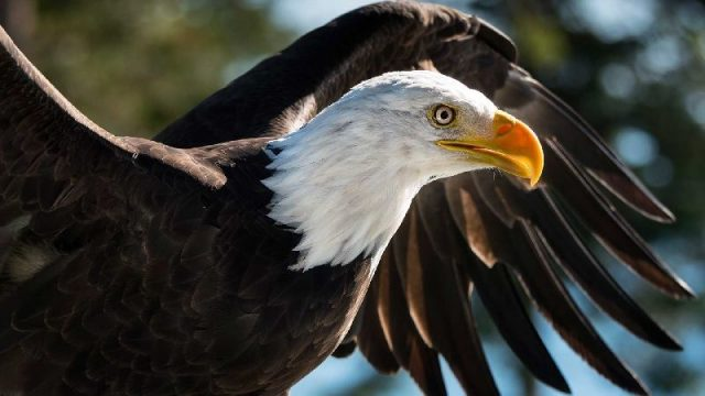 Gambar Nama Hewan Dari Huruf E - Eagle