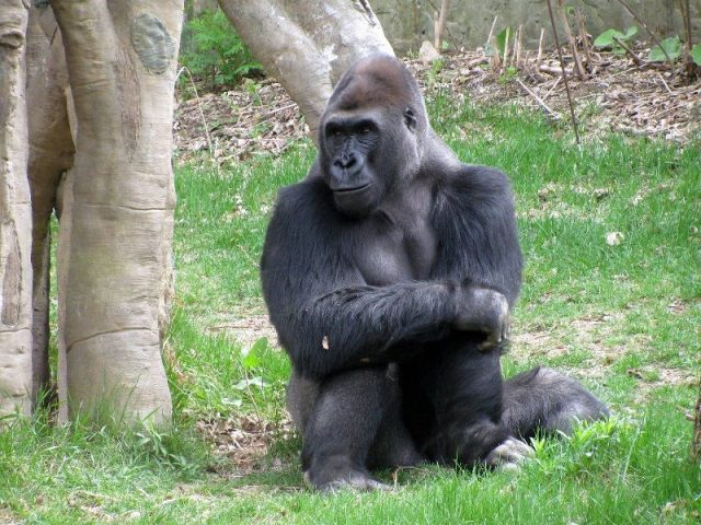 Gambar Nama Hewan Dari Huruf E - Eastern Gorilla