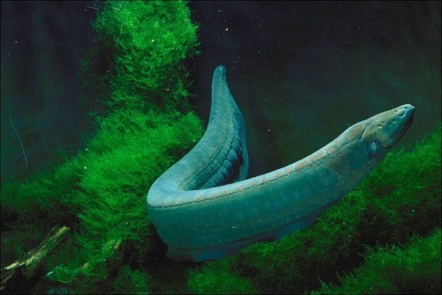Gambar Nama Hewan Dari Huruf E - Electric Eel