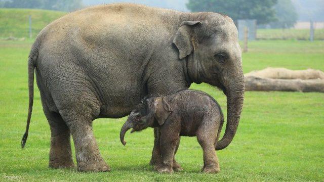 Gambar Nama Hewan Dari Huruf E - Elephant