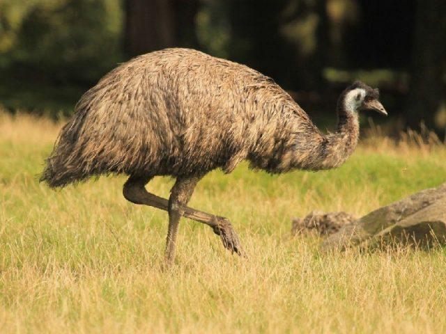 Gambar Nama Hewan Dari Huruf E - Emu
