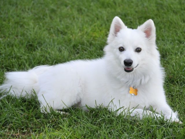 Gambar Nama Hewan Dari Huruf E - Eskimo Dog