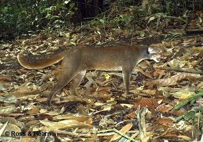 Gambar Kucing Merah Kalimantan atau Bay Cat - Pardofelis badia