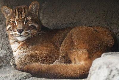 Foto Dan Gambar Kucing Merah Kalimantan
