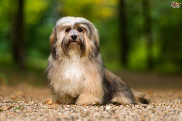 Gambar Jenis Anjing Kecil-Havanese