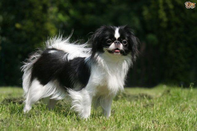 Gambar Jenis Anjing Kecil-Japanese Chin